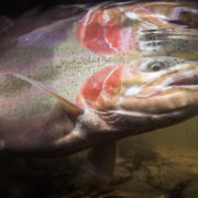 underwater winter steelhead