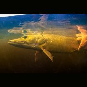 muskie picture of the day