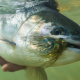 underwater steelhead photo