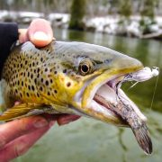 Brown Trout below Tippy