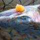 Manistee River Steelhead Report