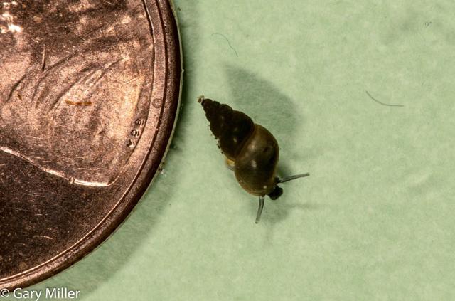 Invasive Species New Zealand Mud Snail